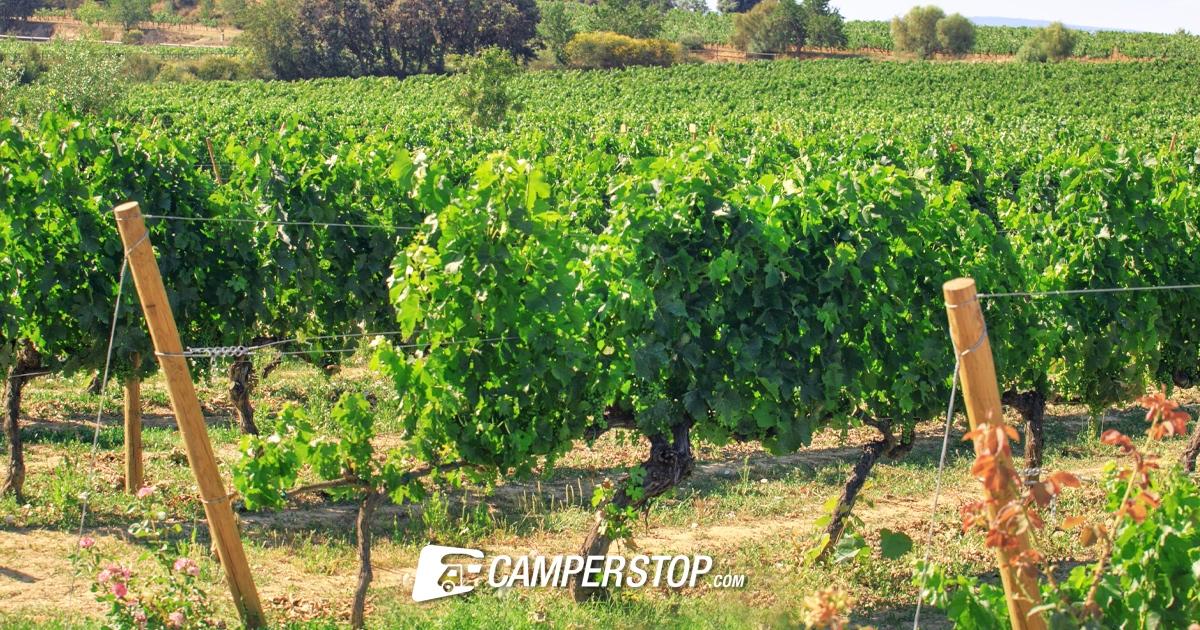Wijnranken in Spanje Wijnroute